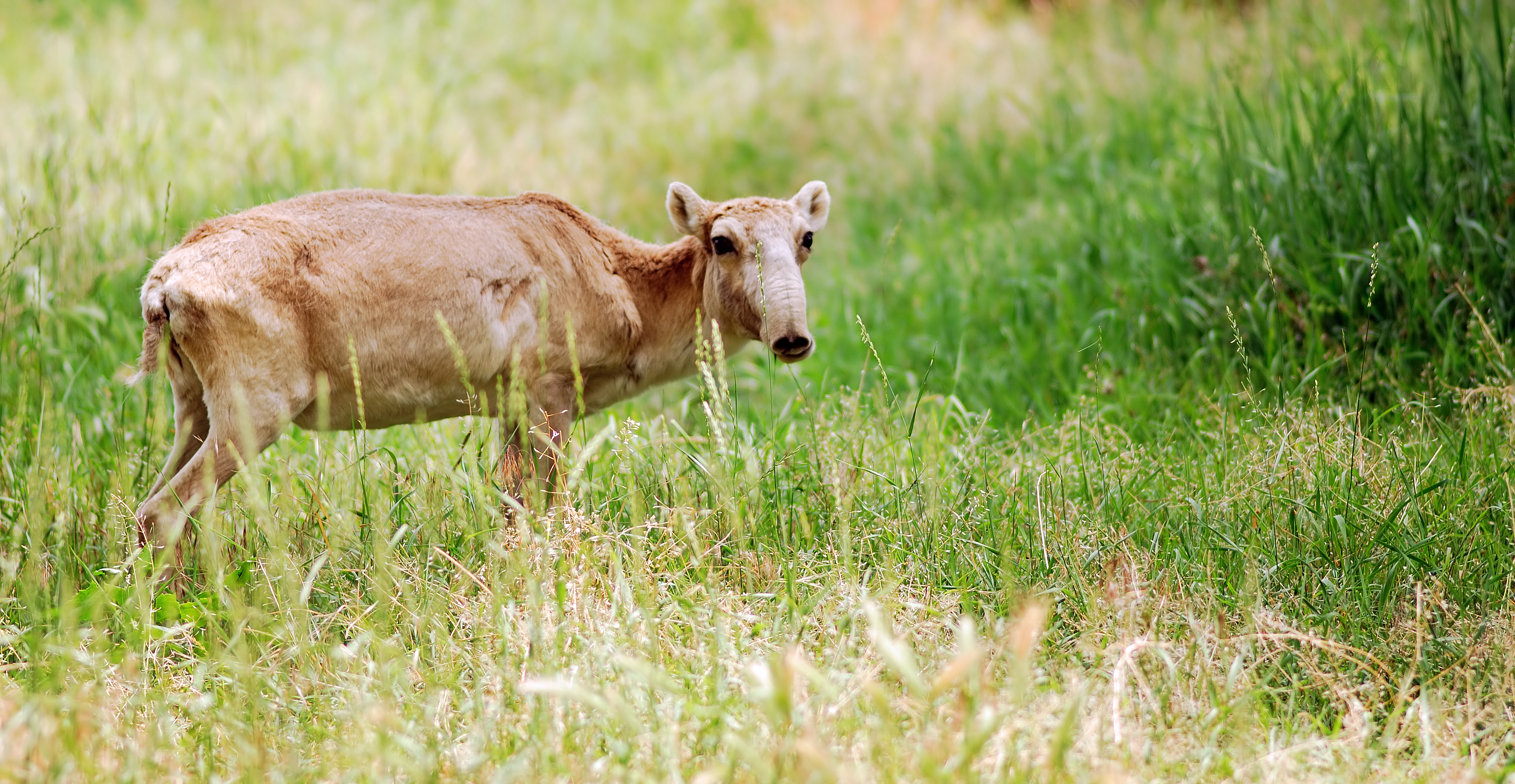 Saiga antelope in long grass