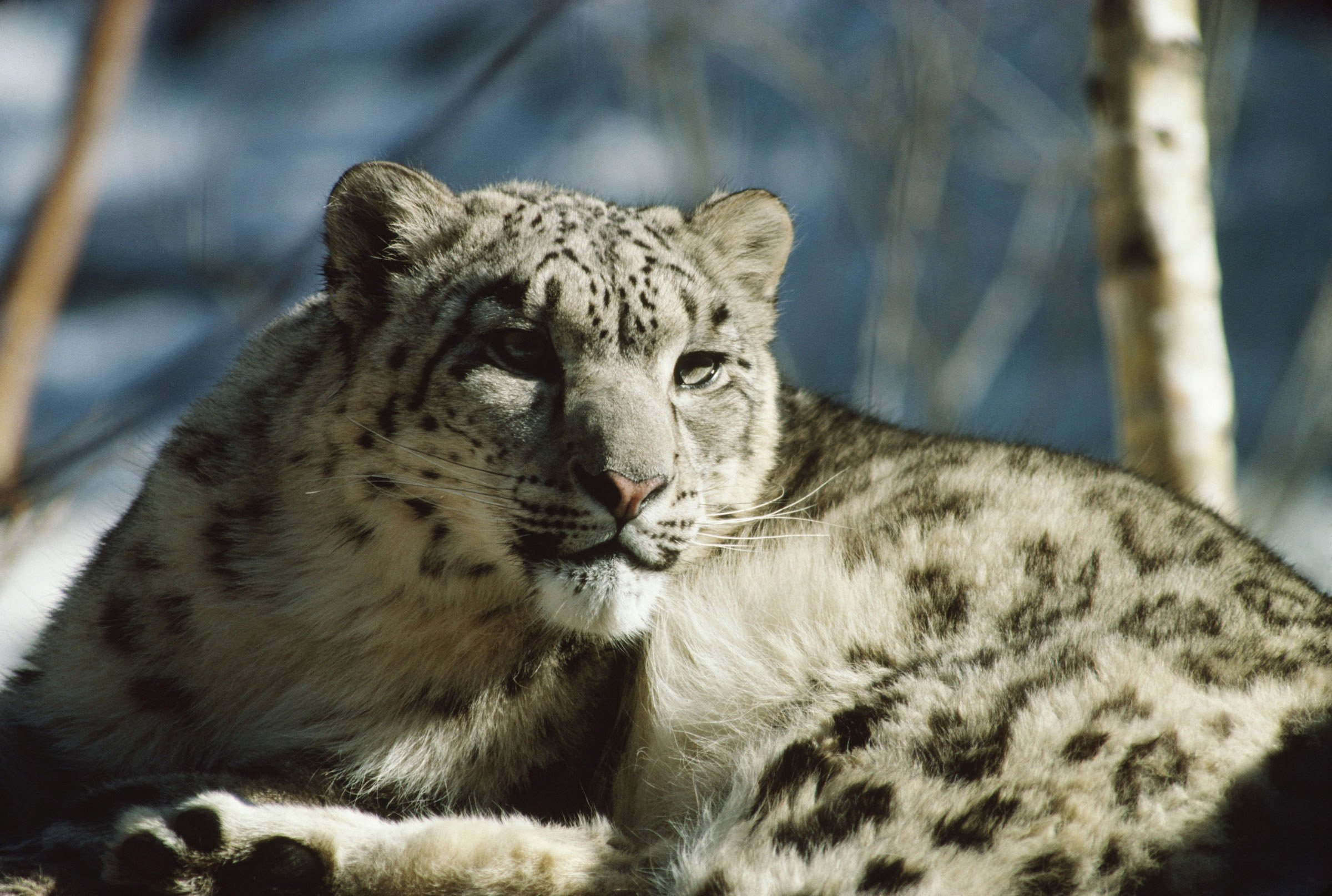 Snow leopard sitting down