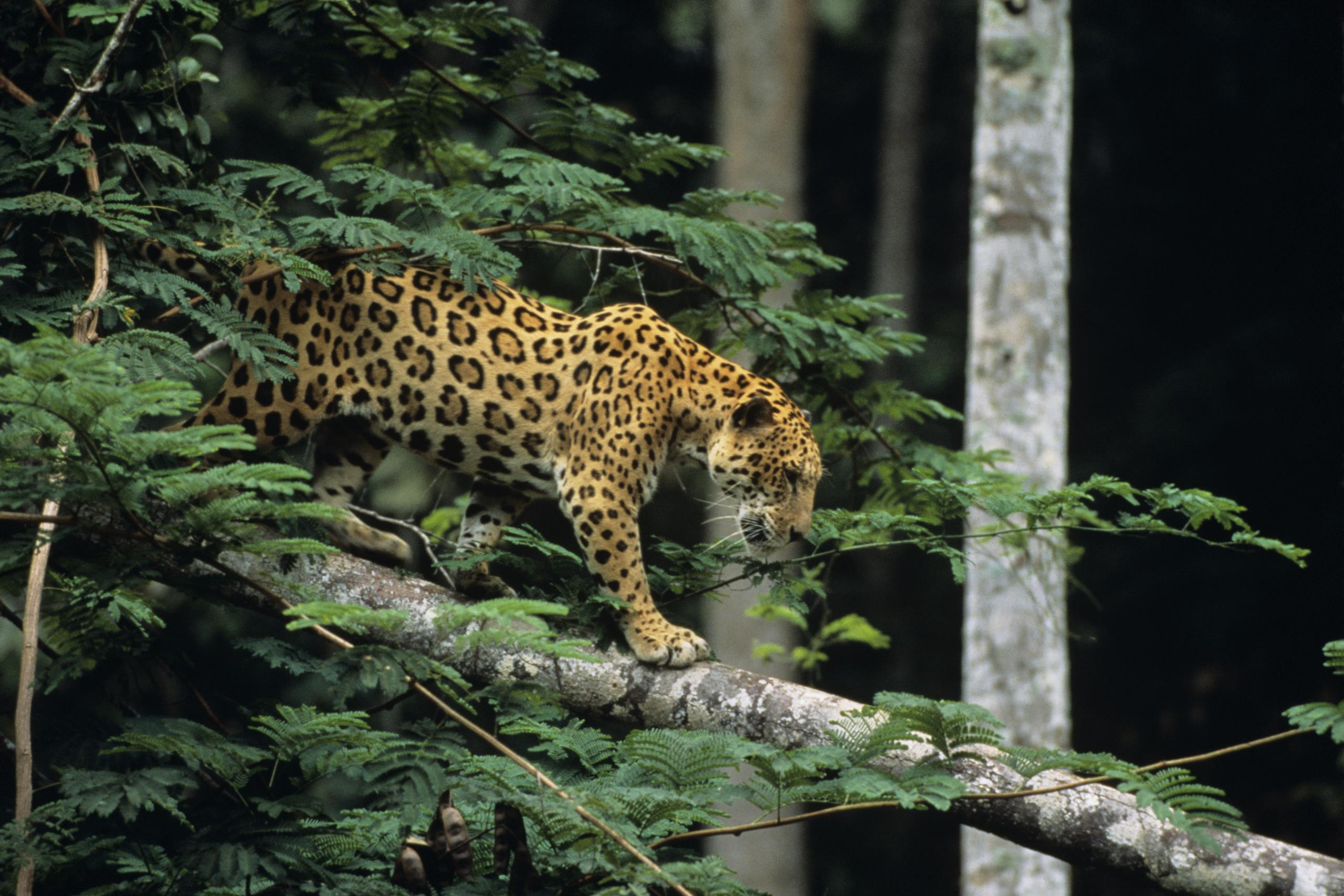 Jaguar in rainforest