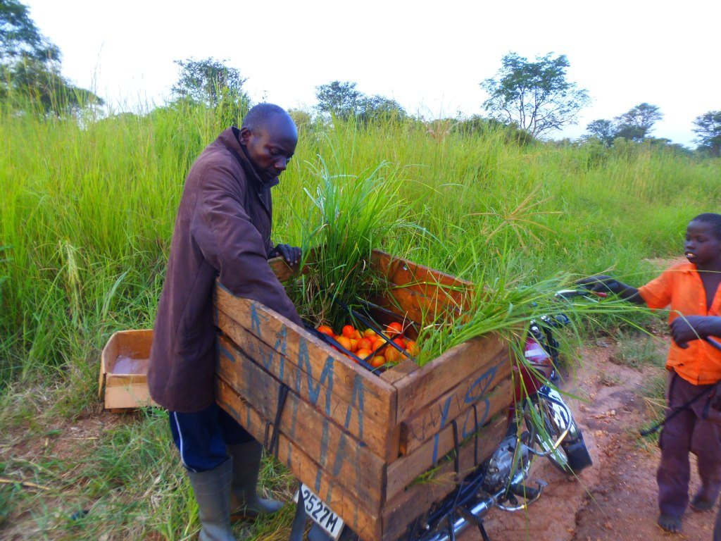 Man puts tomatoes in cart in field in South Sudan